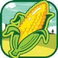 豐收的玉米
