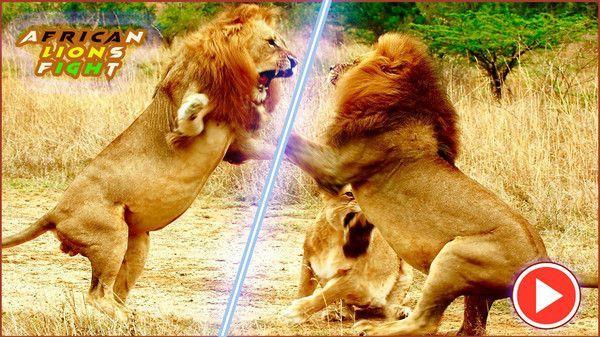非洲狮模拟器安卓版
