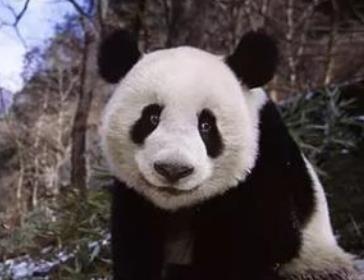 痕迹流浪熊猫